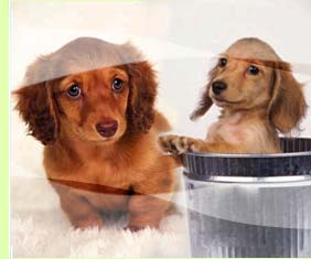 Experienced Dachshund Breeders and More